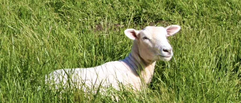 a lost sheep in the grass