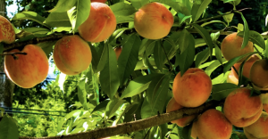 peaches on tree, opportunities from God